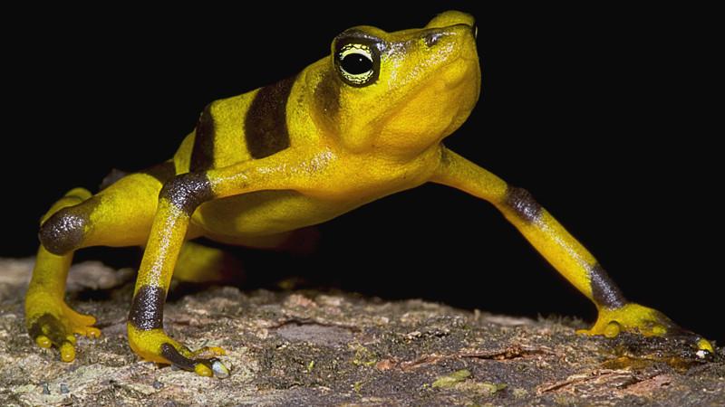 Жаба Золотой арлекин    животные, фотограф, цвета