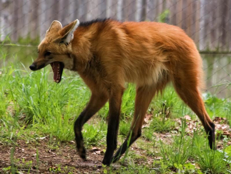 12. Гривистый волк животные, природа, странности