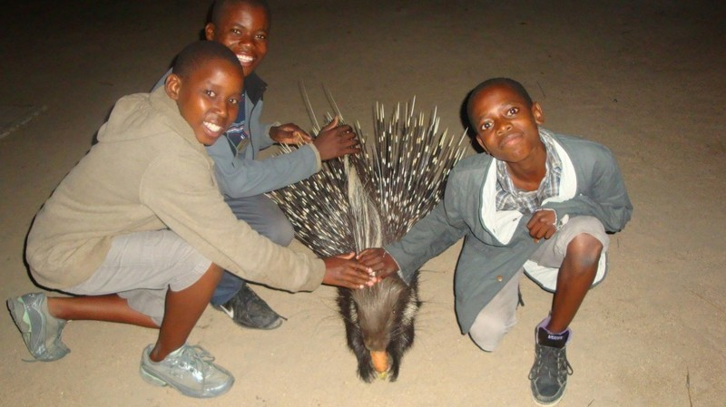 Спасенный дикобраз вернулся к своим спасителям с сюрпризом дикобраз, животные, заповедники, спасение животных