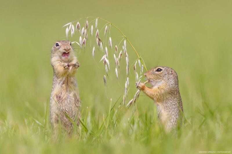 Суслики - самые умилительные создания на Земле! животные, суслики, фото