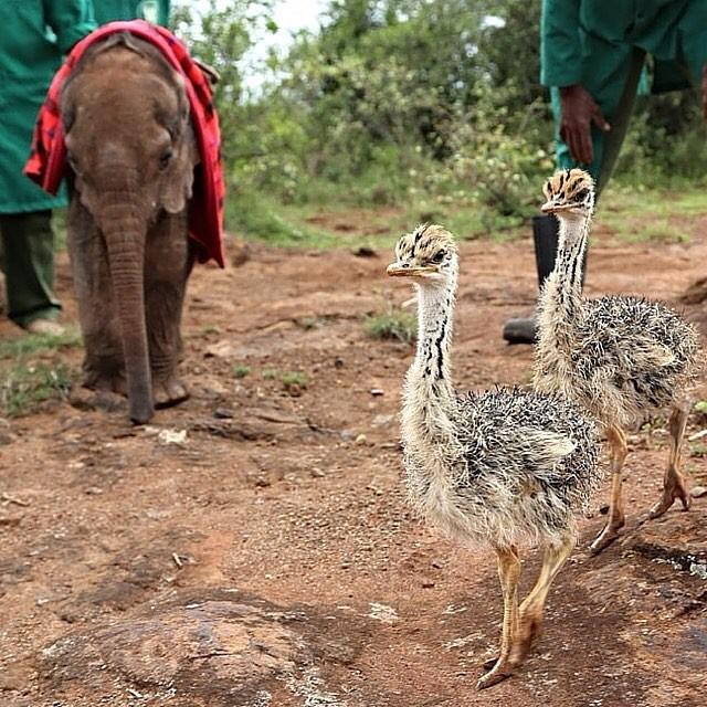 В октябре 2014 года представители фонда дикой природы David Sheldrick Wildlife Trust (DSWT) отправились в Северную Кению, чтобы спасти осиротевшего слоненка. животные, слоны, страусы
