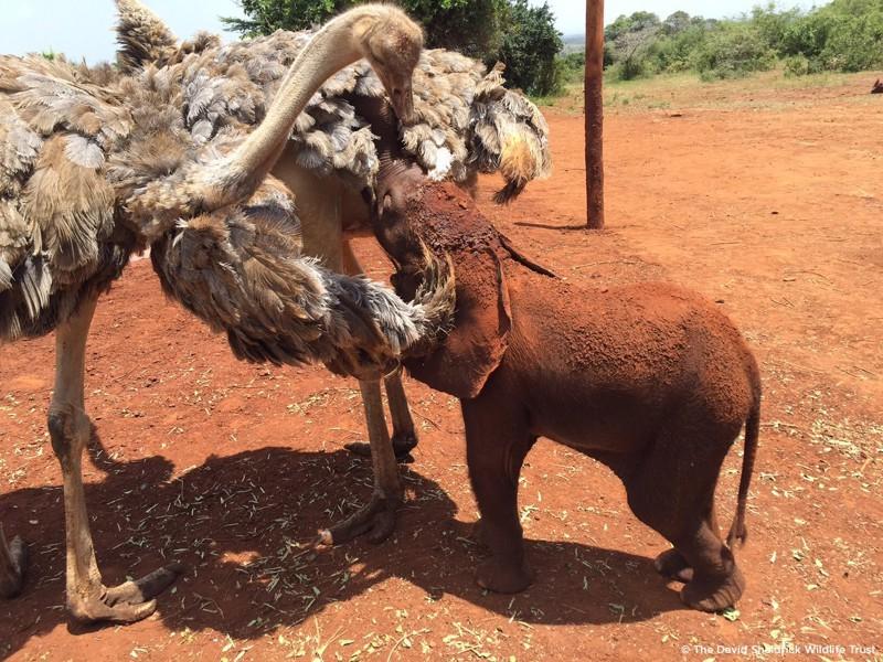 Когда они прибыли на место, они обнаружили слоненка в компании двух птенцов страуса. животные, слоны, страусы
