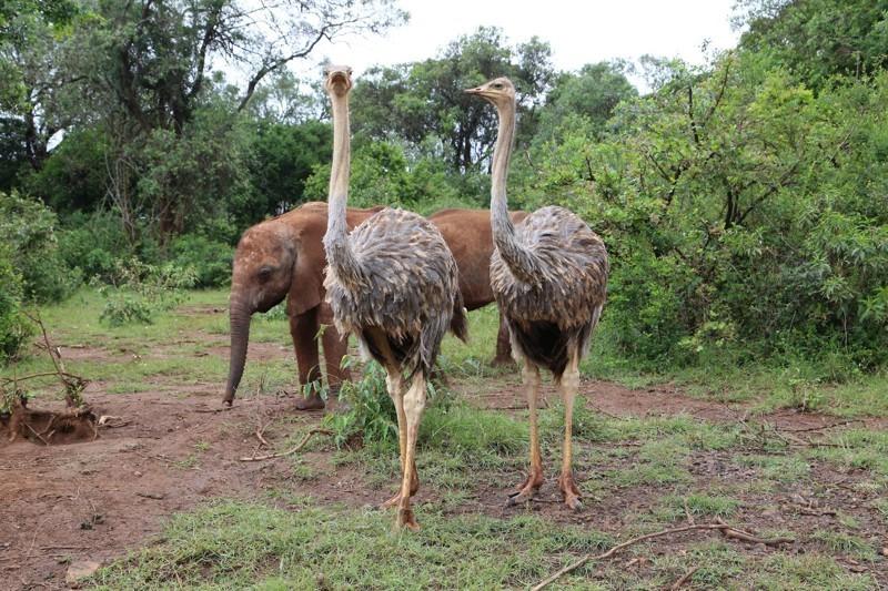Страусы помогают слонятам расти без мам животные, слоны, страусы