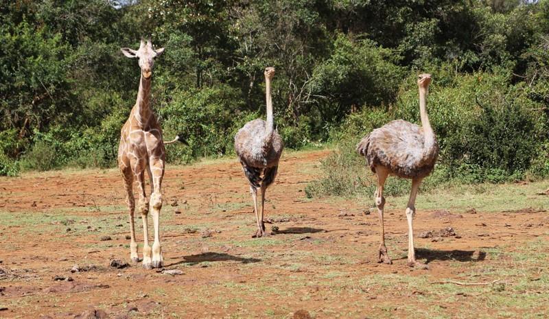 К счастью, у Пи и Пода есть еще один товарищ, который превосходит слонят в росте – Кико, маленький жираф. животные, слоны, страусы