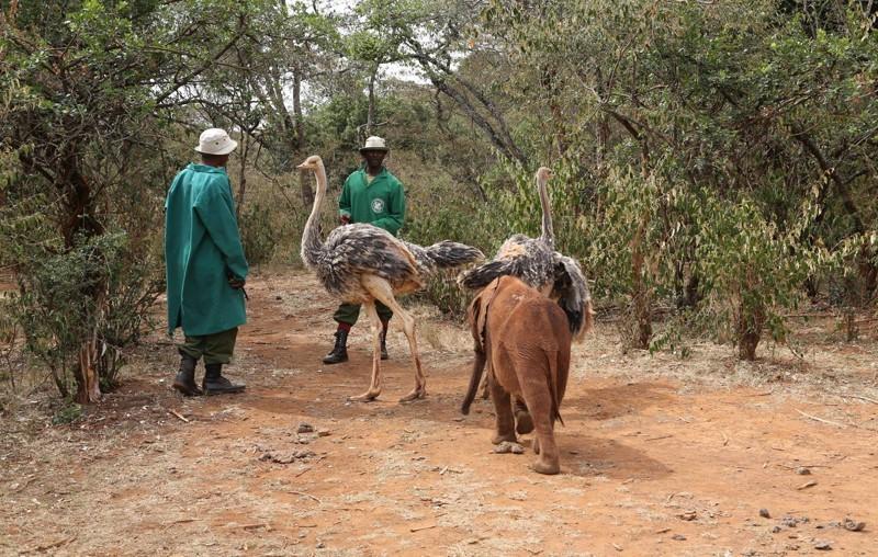 Страусят нашла служба охраны диких животных Кении.  животные, слоны, страусы
