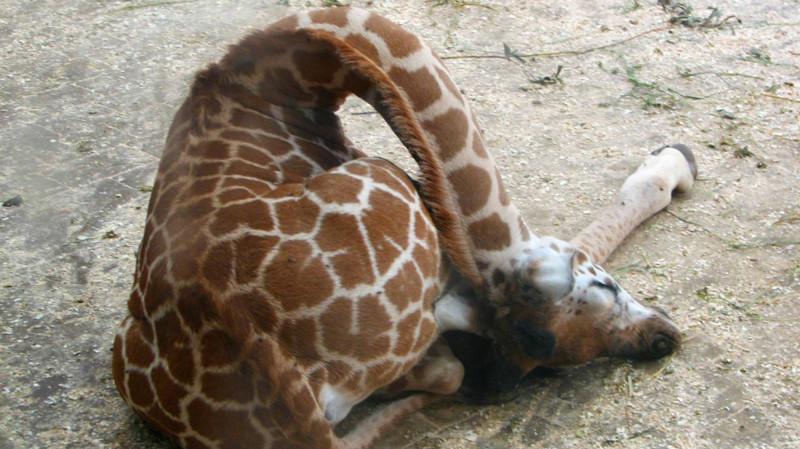 Жирафы. животные, интересные факты, сон