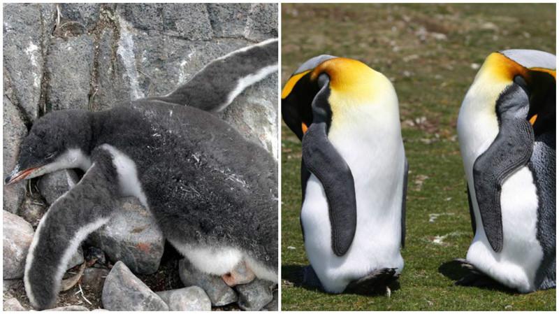 Пингвины. животные, интересные факты, сон