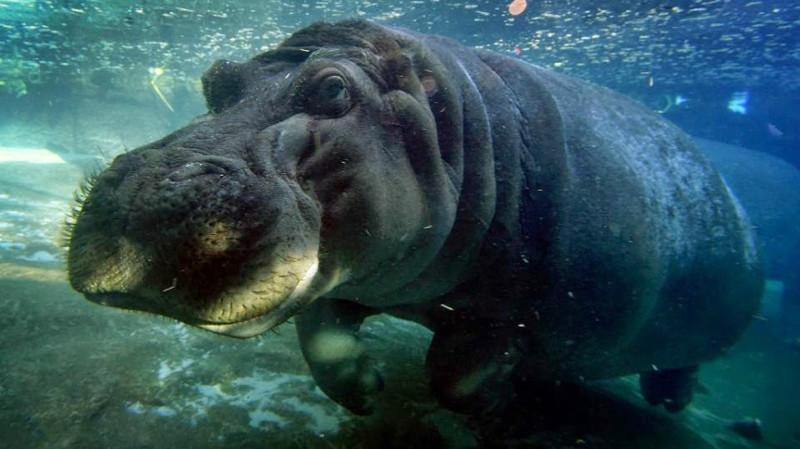 Бегемоты. животные, интересные факты, сон