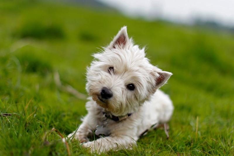 Почему собаки наклоняют голову, когда слушают вас?  животные, факты