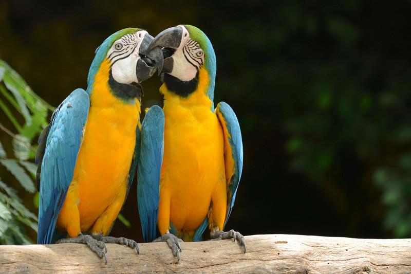 Почему попугаи говорят? животные, факты