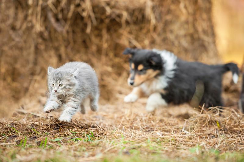 Почему собаки гоняют кошек? животные, факты