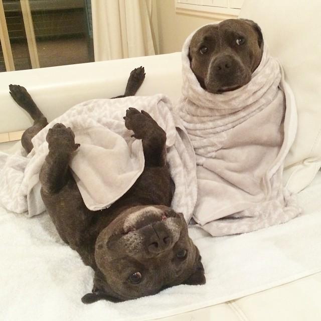 Очаровательные братья бультерьеры немедленно сделают ваш день лучше! животные, история, собаки