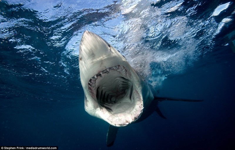 Дайвер из Флориды обнаружил самую большую белую акулу в мире белая акула, дайвинг, животные, фотография