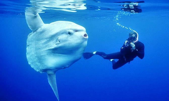 11. Луна-рыба животные, морские обитатели