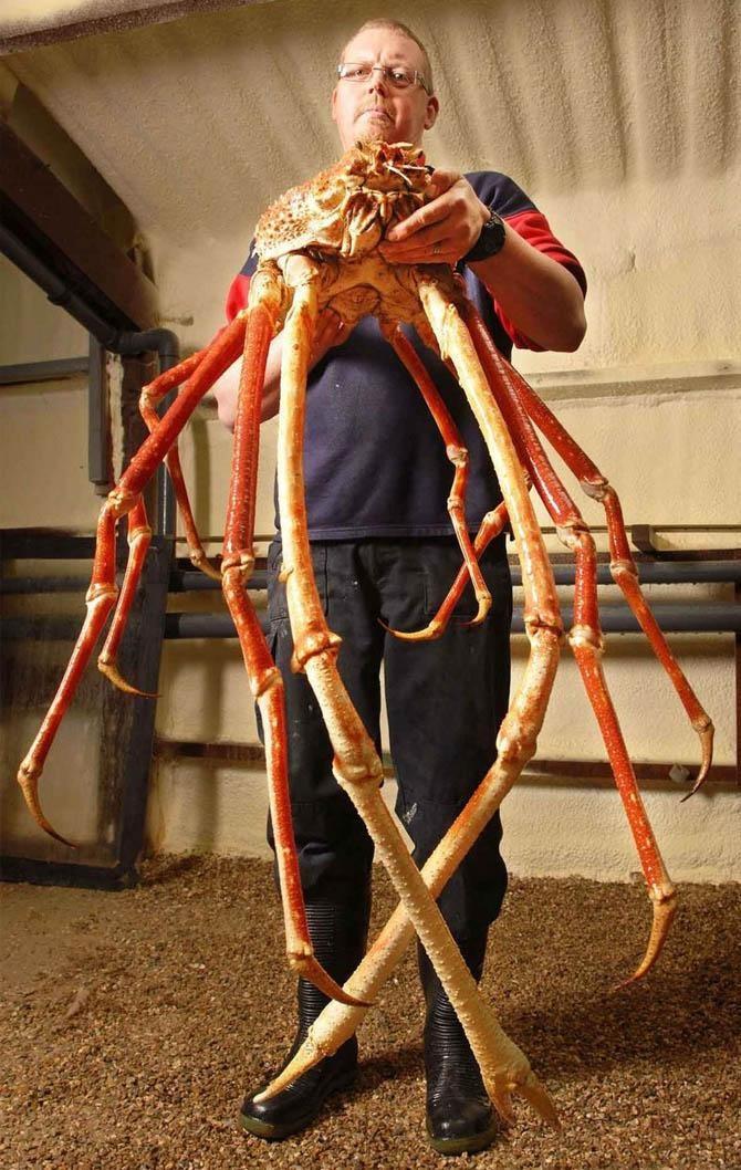 15. Японский краб-паук животные, морские обитатели