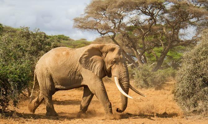 2. Африканский слон животные, морские обитатели