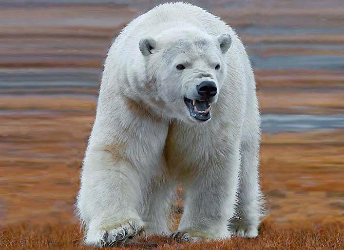 5. Белый и бурый медведь животные, морские обитатели