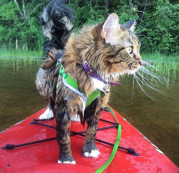 Каякер кошки, природа, путешествие, фото, юмор