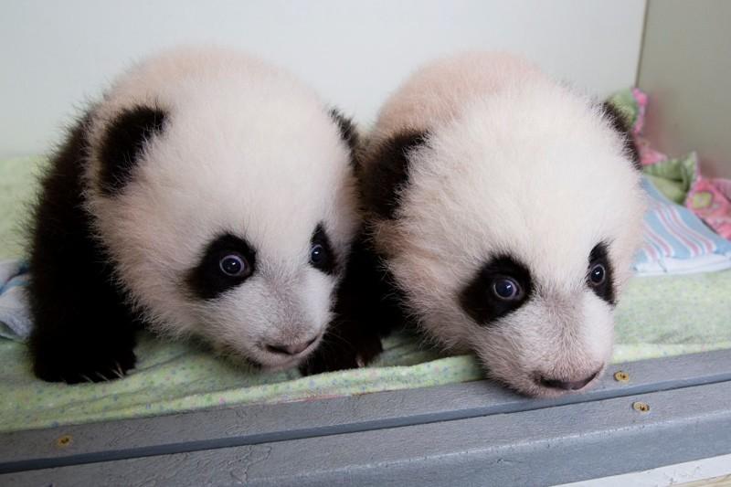 3 месяца детеныш панды, панда, панда видео