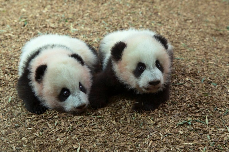 В 4 месяца панды-близнецы начали свои похождения в этом большом и очень интересном мире детеныш панды, панда, панда видео