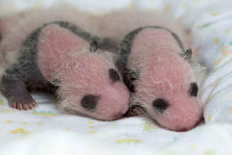 Пандам 2 недели детеныш панды, панда, панда видео