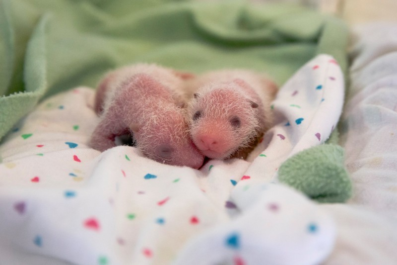 Глазки и ушки начали темнеть детеныш панды, панда, панда видео