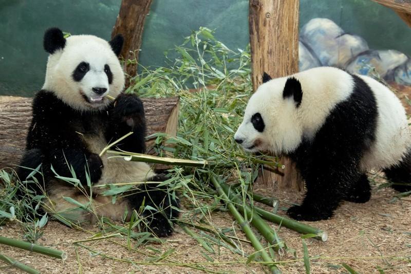 2 года детеныш панды, панда, панда видео