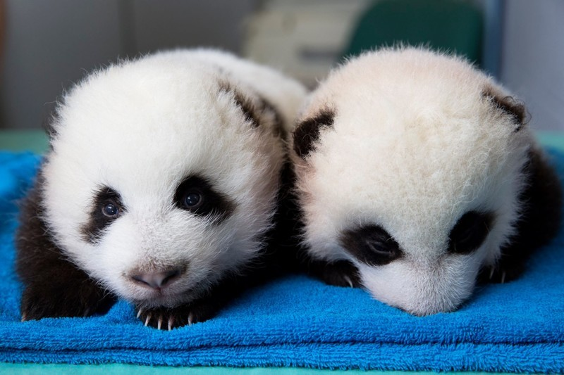А это им уже 1 месяц детеныш панды, панда, панда видео