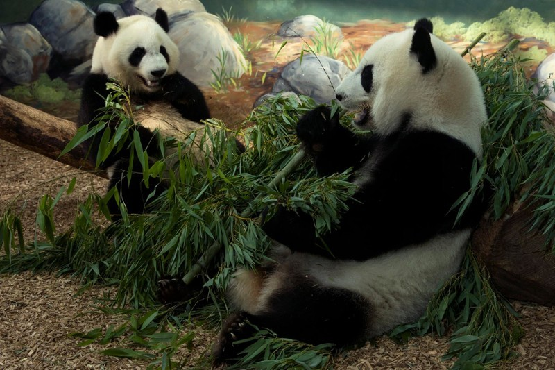 Недавно им исполнилось три года, они очень игривые, веселые и любят свою маму. детеныш панды, панда, панда видео