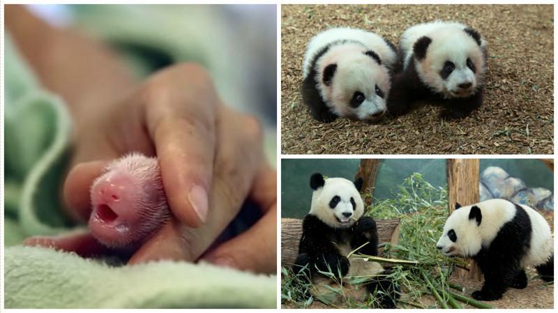 Беременная панда сделала зоопарку неожиданный подарок детеныш панды, панда, панда видео