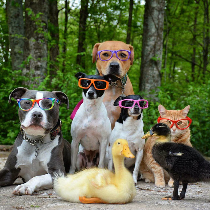 Эти животные такие разные! И все же они - неразлучные друзья! дружба зверей, животные, кошки, собаки, утки