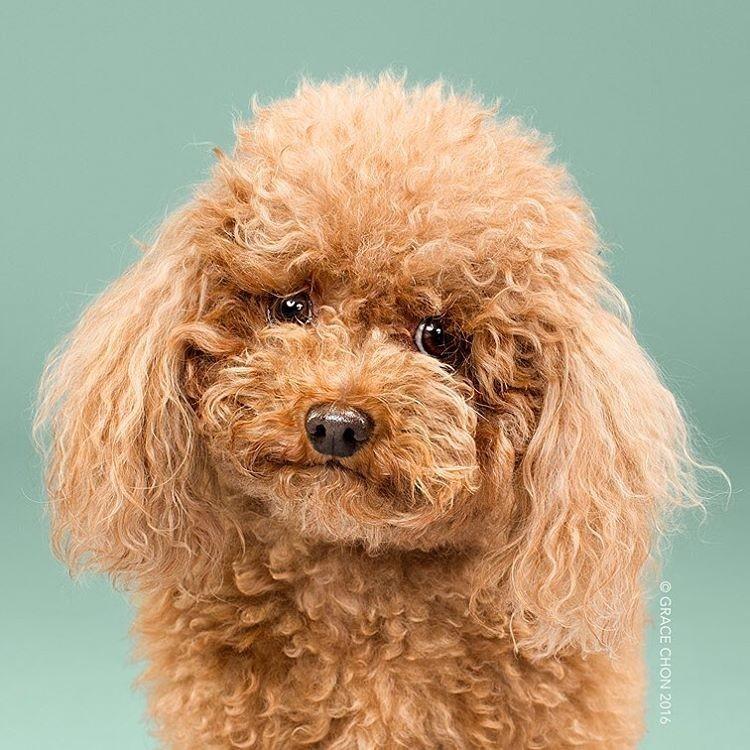 Бигги Смалс до груминг, собаки, стрижка собак