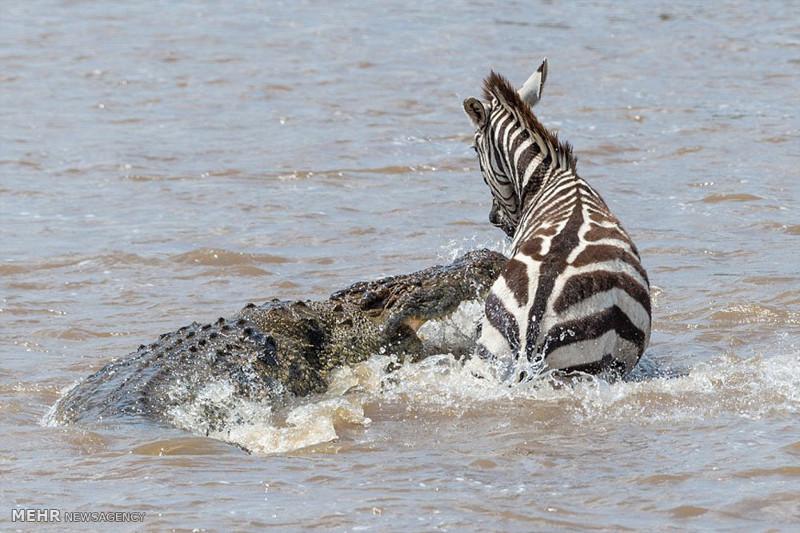 Храбрая зебра спаслась от крокодила животные, зебра, крокодил