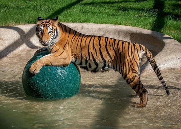 Как преобразилась тигрица, спасенная из цирка животные, история