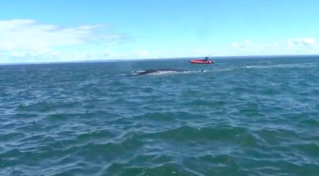 Эрик выложил два видео, на которых слышны перепуганные/радостные крики туристов животные, канада, кит, лодка