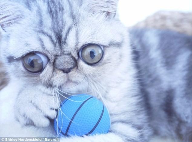 Удивленный кот по кличке Герман german, животные, кот