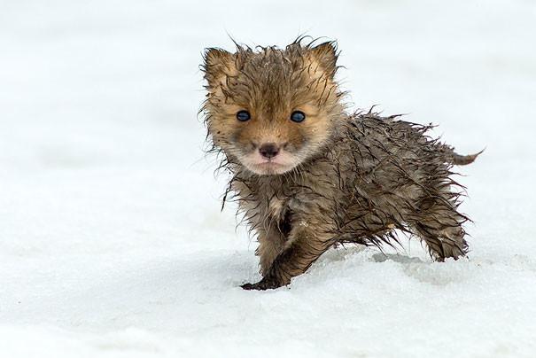 Малыш лисёнок детеныши, животные, очаровательные