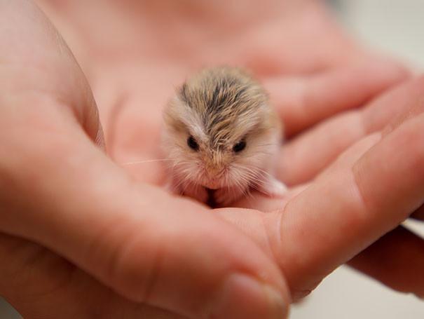 Хомячок детеныши, животные, очаровательные