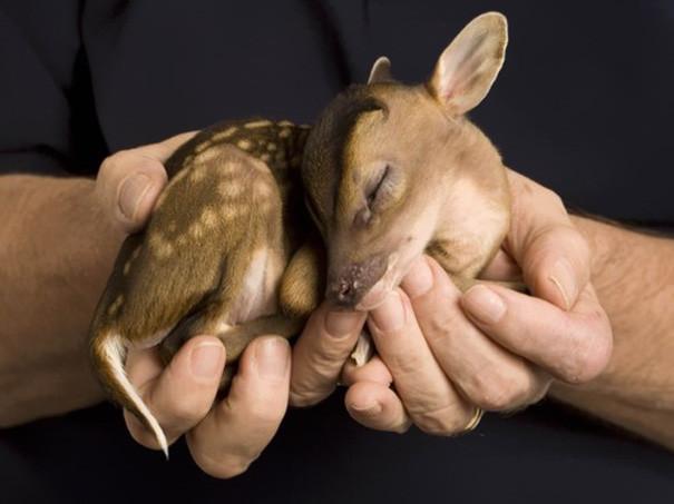 Оленёнок детеныши, животные, очаровательные