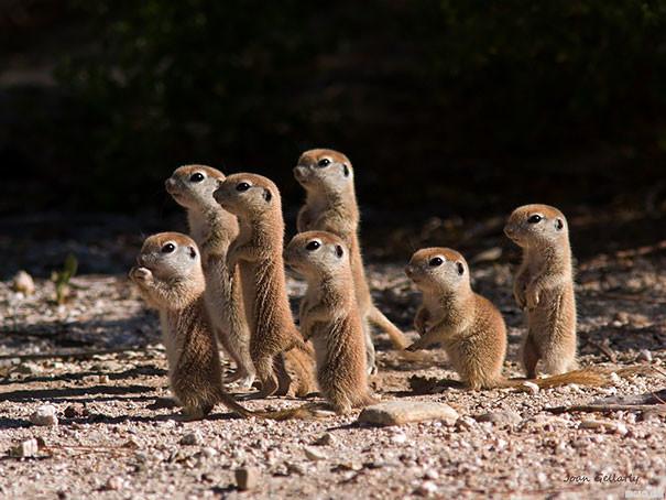 Детки луговых собачек детеныши, животные, очаровательные