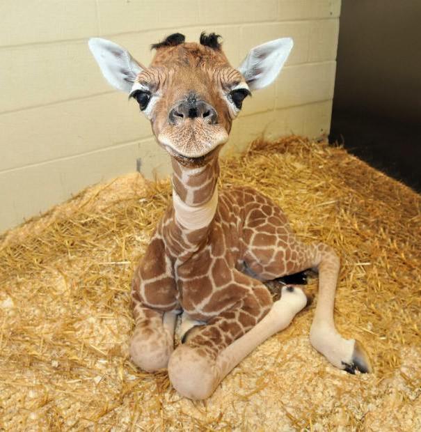 Детка-жираф детеныши, животные, очаровательные