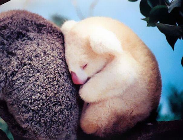 Младенец-альбинос коалы детеныши, животные, очаровательные