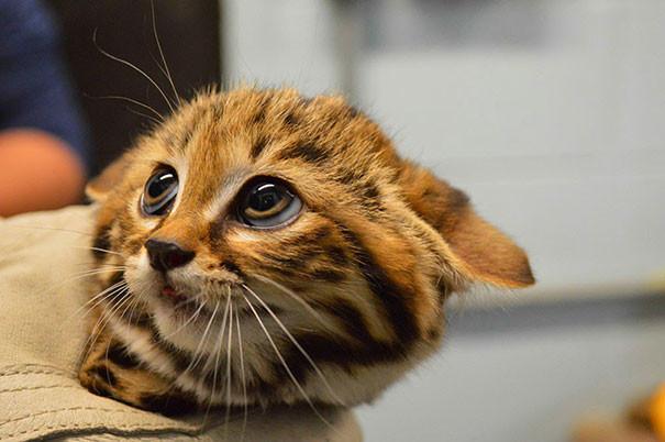 Котёнок черноногой кошки детеныши, животные, очаровательные