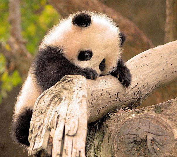 Малыш панда детеныши, животные, очаровательные
