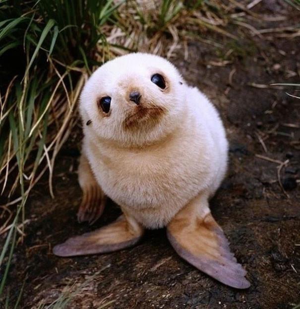 Крошка морской котик детеныши, животные, очаровательные