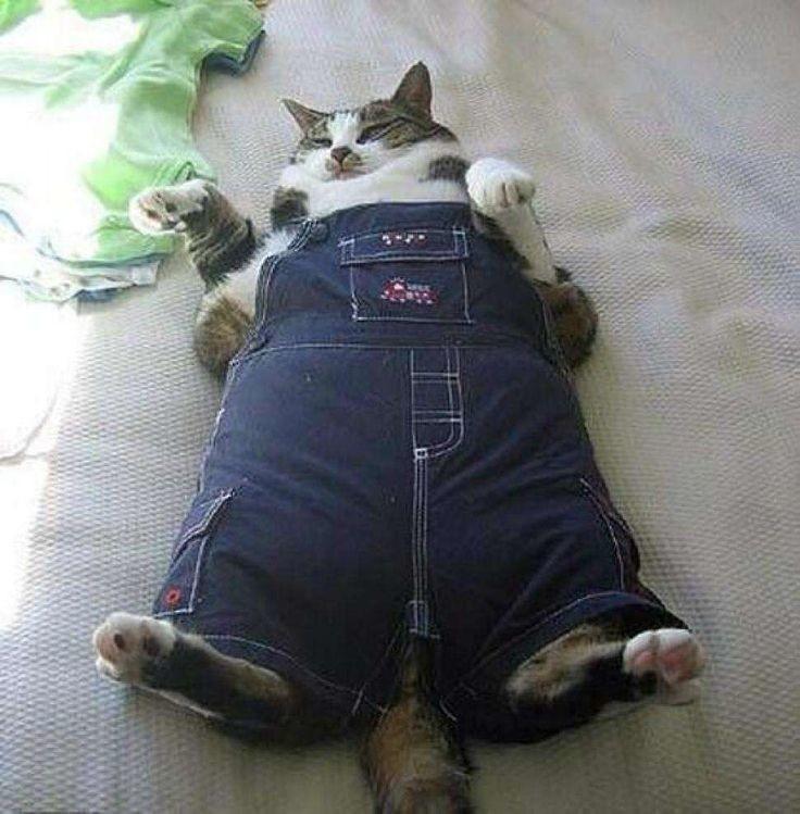 12. Пухлик в комбинезоне  животные, кот, толстяк