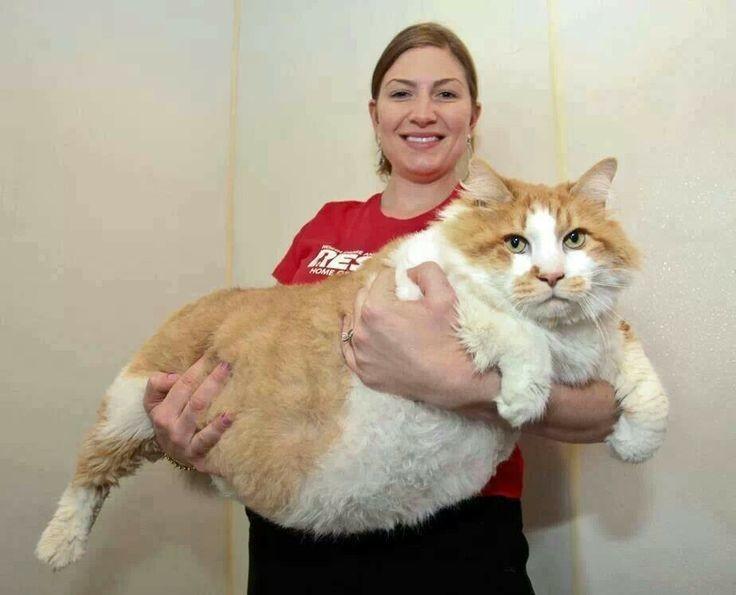 5. Кошка, которая весит 18 килограммов животные, кот, толстяк