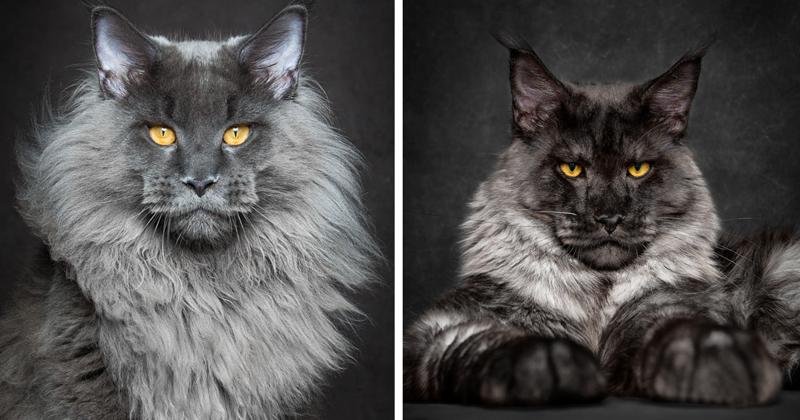 Мэйкуны - мистические коты