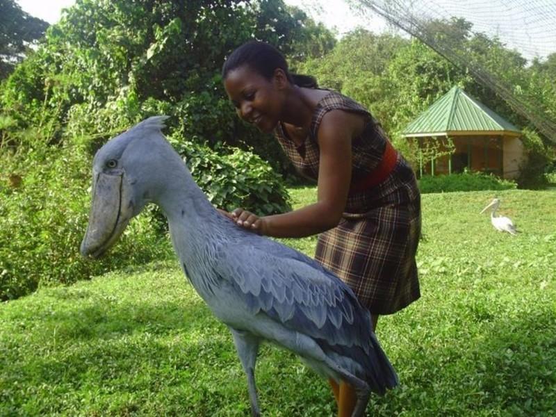 Китоглав интересное, природа, птицы