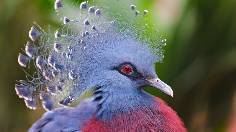 Веероносный венценосный голубь интересное, природа, птицы